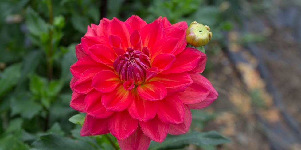 F3 Workshop Series - All About Dahlia's August 20th