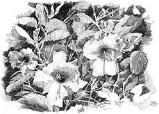 Hibiscus 32511
