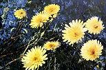 Dandelion One a painting by John Weidenhamer