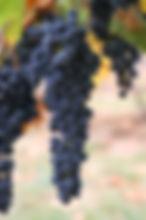 Wine_grapes03.jpg