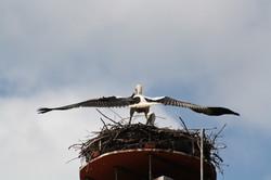 Storchenjunge_Flugübungen_überm_Nest_00