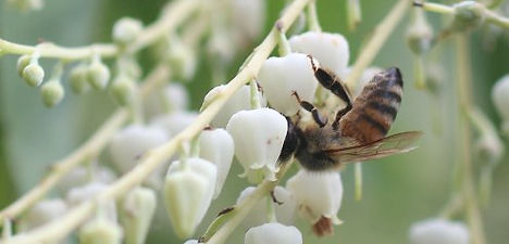 Honey bee on Sourwood Blossom