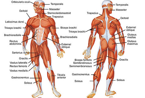 muscle-diagram-of-human-body.jpg