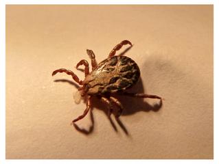 Tackling Tick bites