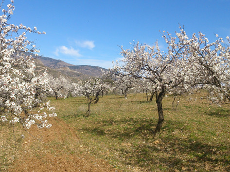 Un verger d'amandiers bio à Castelluccio : planter 5600 arbres sur 20Ha