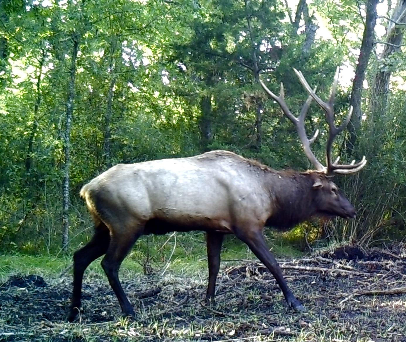Trophy Bull Elk