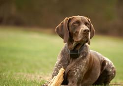 German-shorthaired-pointer-dog-sitting-i