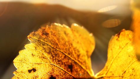 Herbst im Weinberg