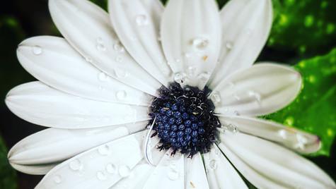 Blüte mit Tau