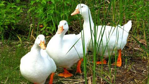 die 3 Enten vom See