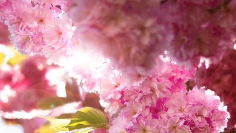 cherry dream