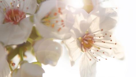 Schwarzdornblüte