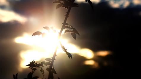 Rosenzweig im Sonnenuntergang