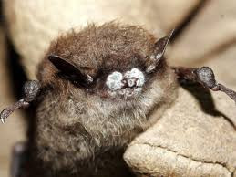 White-Nose Syndrome: Why Bats?