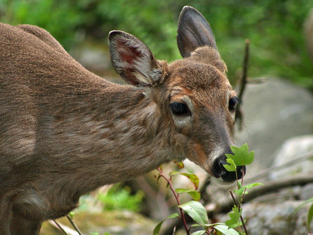 Oh Deer! What Could the Matter Be?: Chronic Wasting Disease