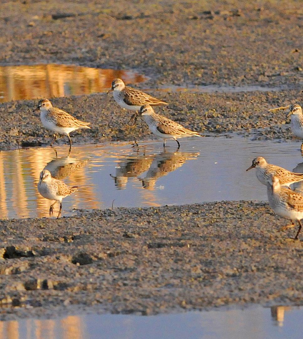Least sandpiper flock 2 (1)_edited.jpg