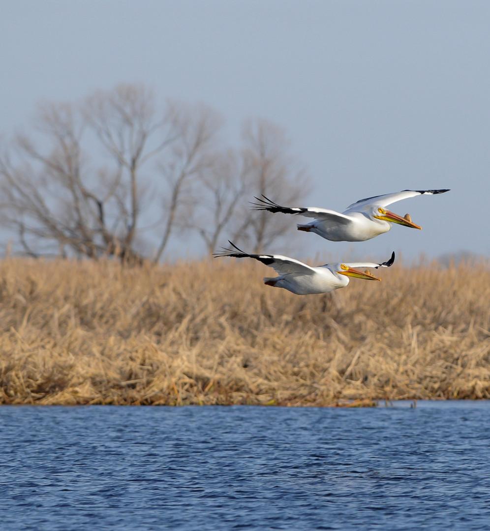 Pelicans flying in Marsh_edited.jpg