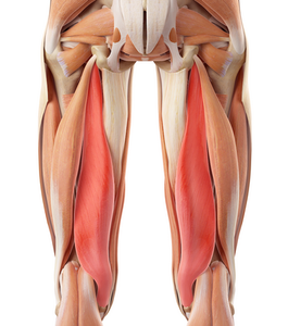 Semimembranosus muscle affects the medial meniscus