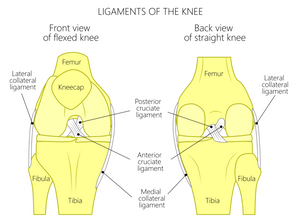 Ligaments of the knee affect the medial and lateral meniscus