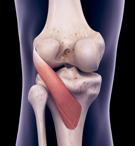 Popliteus muscle affects the lateral meniscus.
