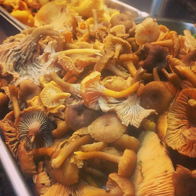 Last of the golden #chanterelles and irate of the #winterchanterelles #mushroom #thatwashingtongoodl