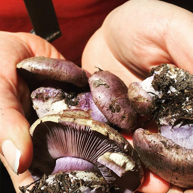 Purple mushrooms! #thatwashingtongoodlife #fungusamongus #mushrooms #mycology #mtadams