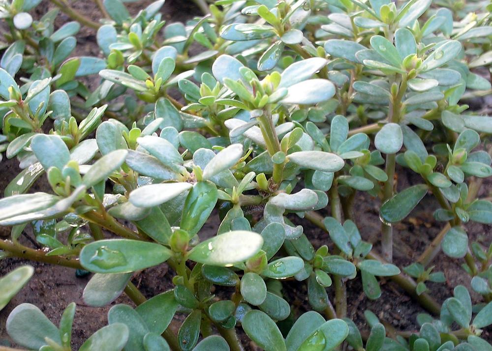 'פרפחינה' צמח סופרפוד