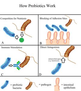 איך פרוביוטיקה עובדת