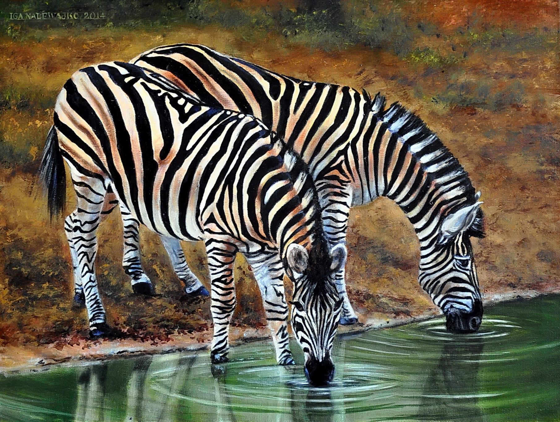 Zebry u  wodopoju