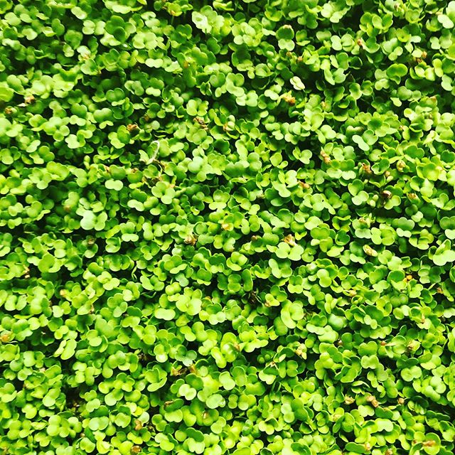 Arugula micro greens for sale right from