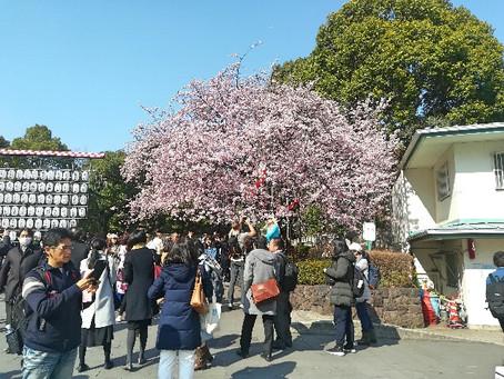 Cherry blossoms season is just around the corner!