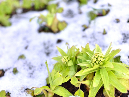 The snow melts and the plant shows its face! - Usui