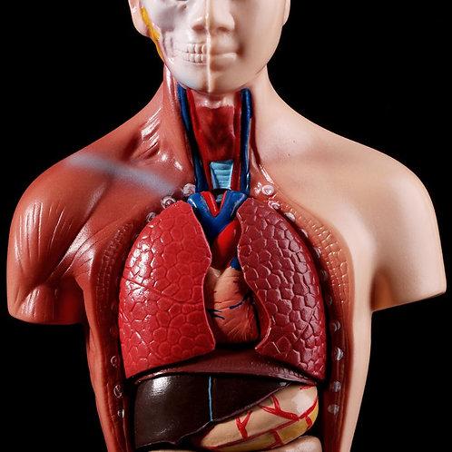 Torso Body Model Anatomy Anatomical Medical Internal Organs for Teaching
