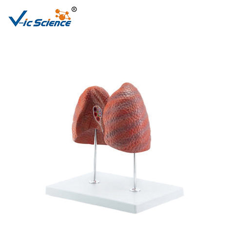 Anatomical Lung Model 4parts for Teaching Students