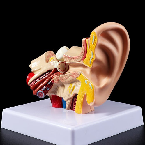 1.5 Times Life Size Human Ear Anatomy Model