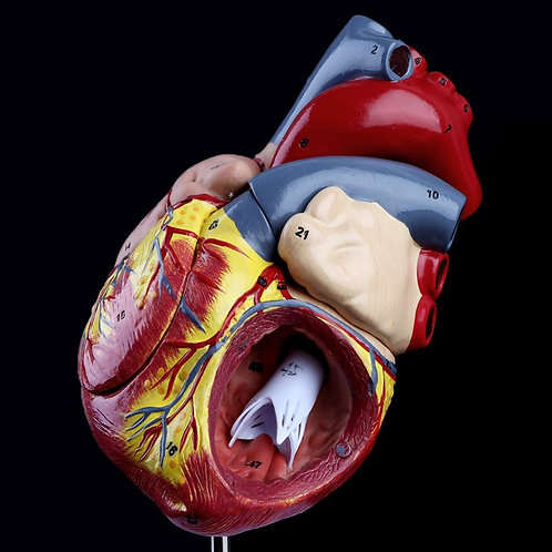 Anatomy Medical Viscera Organs Medical Teaching Resource Tool
