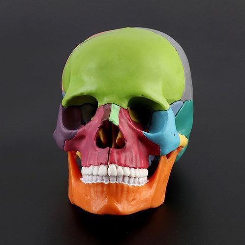 15pcs 4D Skull Anatomical Model Detachable Medical Teaching Tool