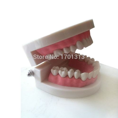 Medical Teaching Tool Teeth Model Dental Model