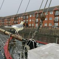 Asbo Gull in Swansea