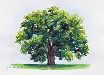 MD State Tree- White Oak