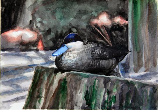 Puna Teal Duck, Salisbury Zoo, MD