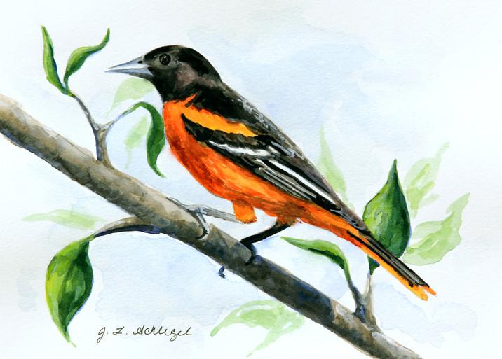 MD State Bird- Oriole