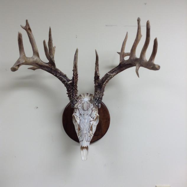 Whitetail Deer Skull