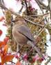 Bushtit nest-building under way
