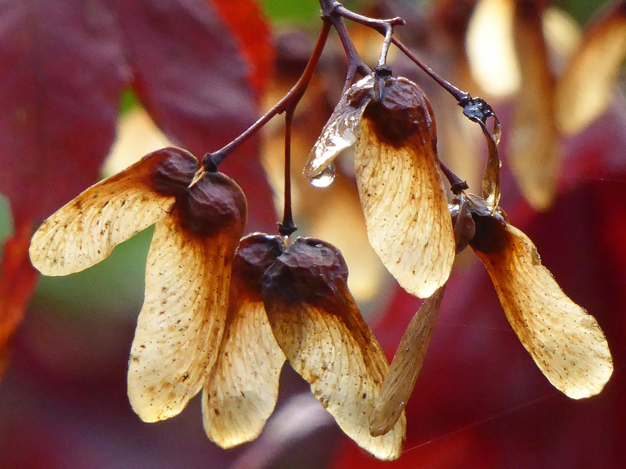 Japanese Maple tree seeds