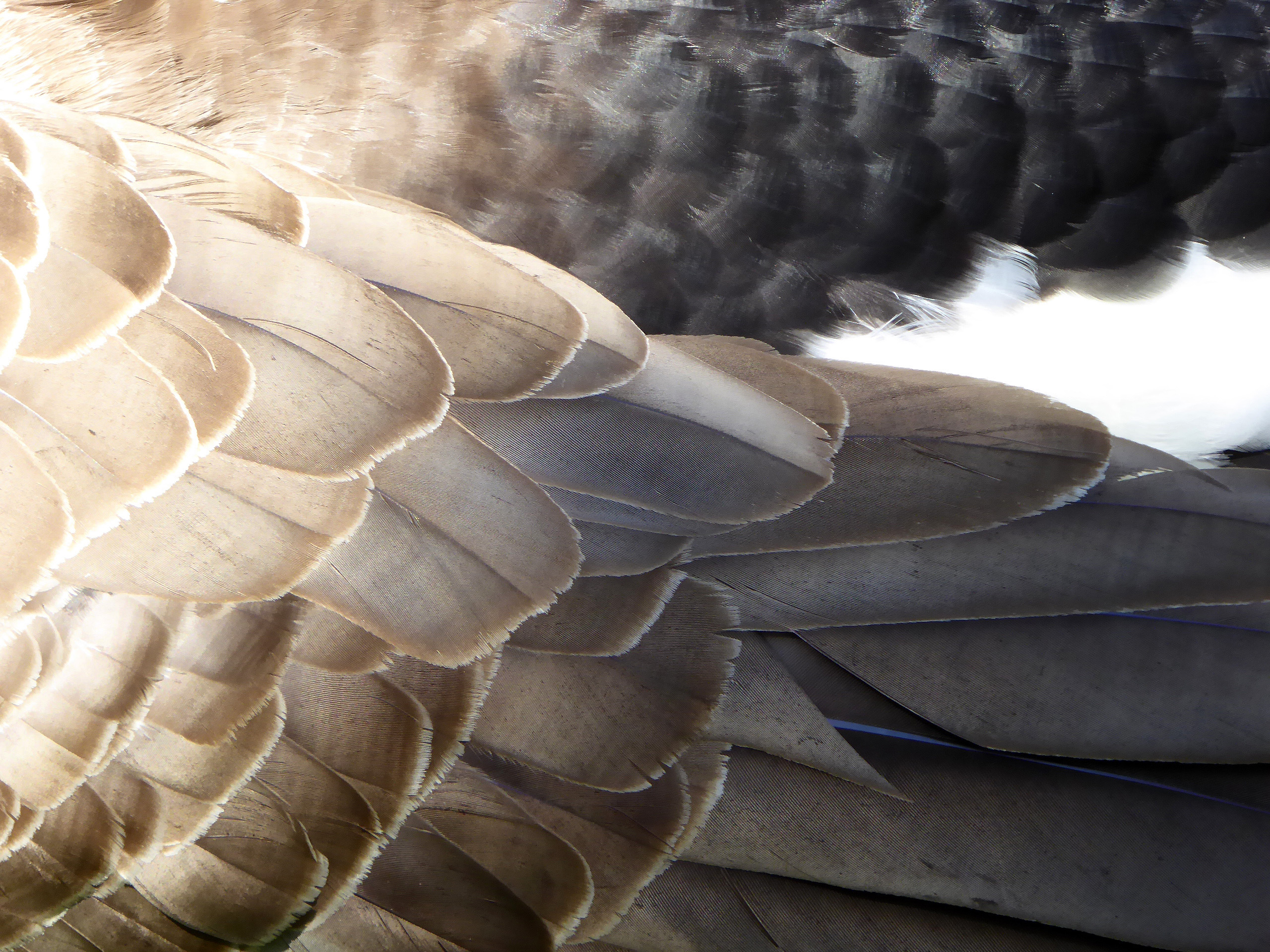 Feathers of a Canada Goose