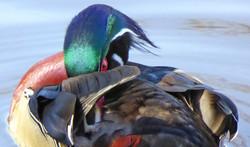 Wood duck ~ male, grooming