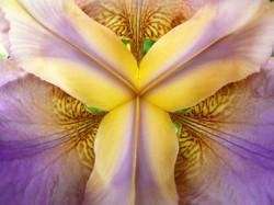 Iris universe