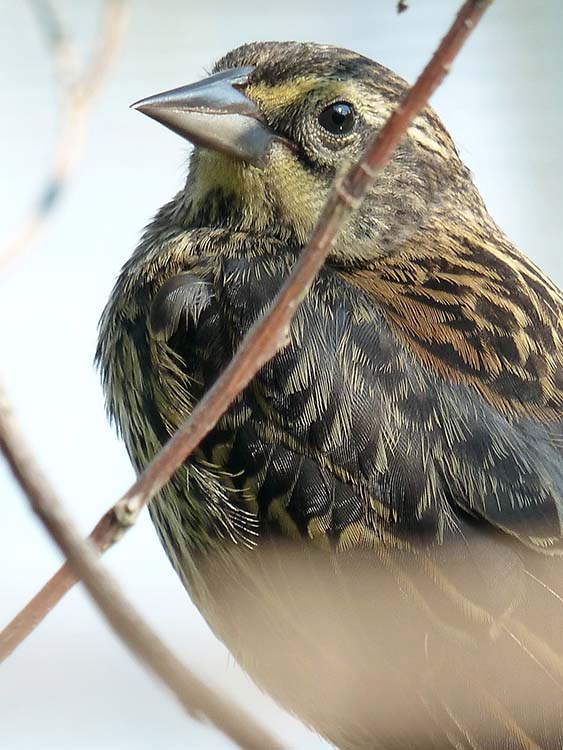 Red-winged Blackbird ~ female