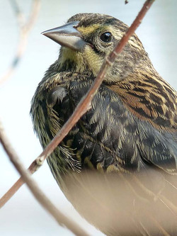 Red-winged Blackbird ~ female